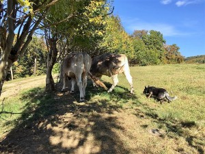 cattle-dog-161016